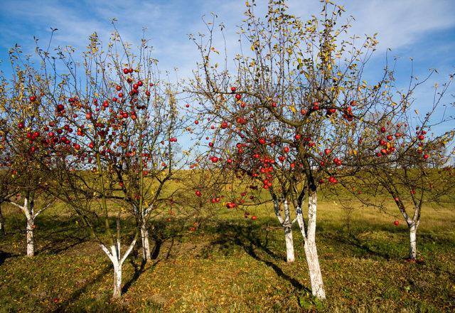 أعلى تلبيس اشجار التفاح في الخريف