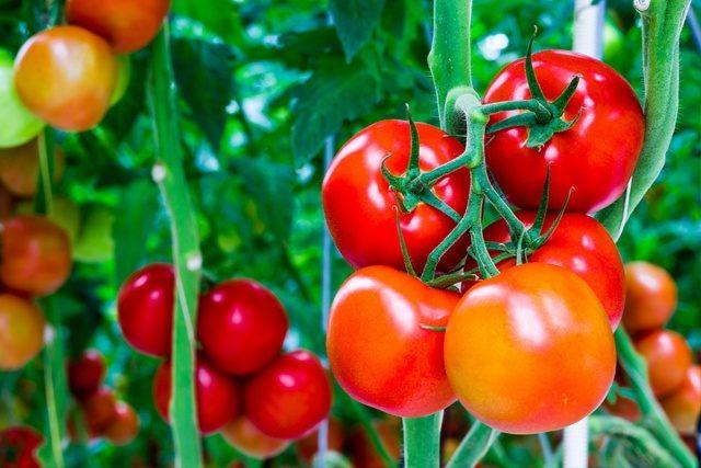 اخفاء الطماطم