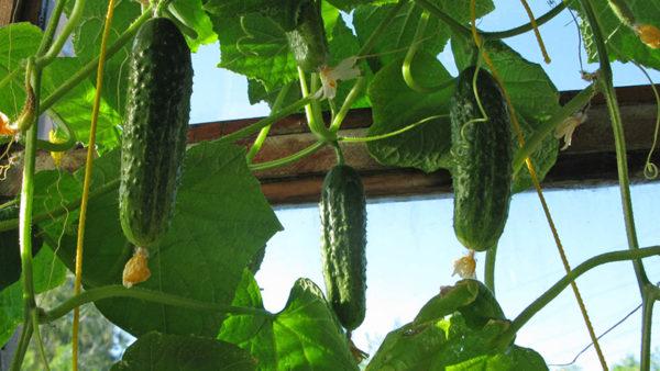 الملفوف والبصل والبقوليات والذرة تنمو جيدا بعد الخيار.