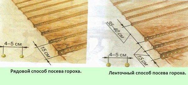 مخطط زراعة البازلاء