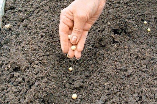 شروط زراعة البازلاء في الأرض المفتوحة تعتمد على مناخ المنطقة