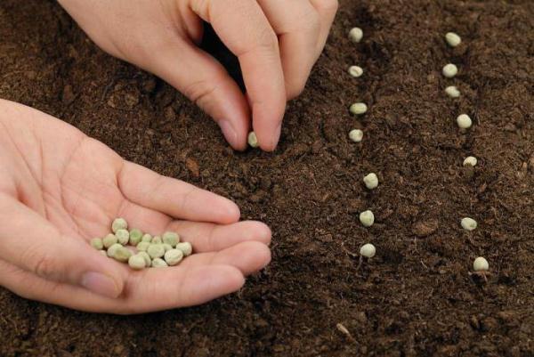 كيفية زراعة البازلاء في الأرض المفتوحة