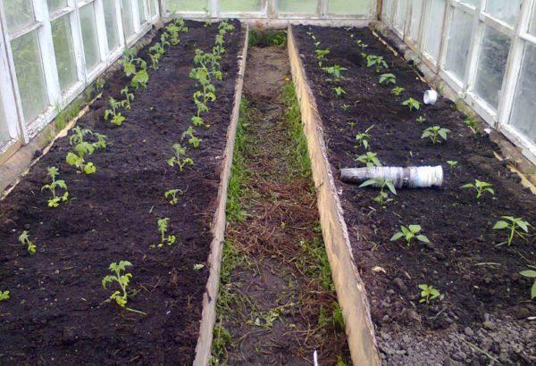 متى تزرع الطماطم في دفيئة في سيبيريا
