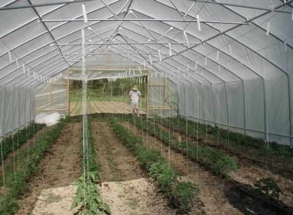 شروط زراعة الطماطم