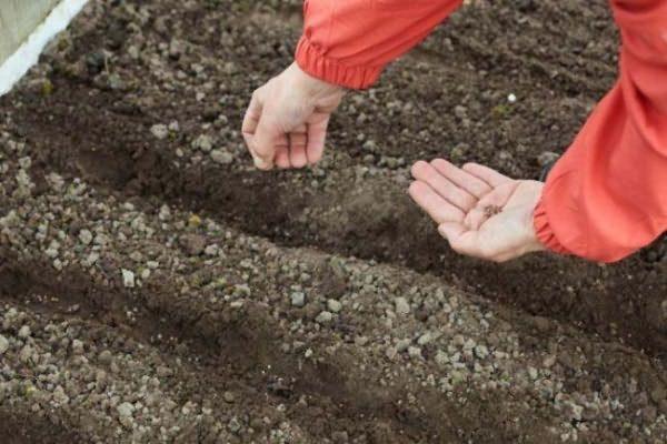 مختلطة مع بذور الأرض وتنتشر في الحديقة