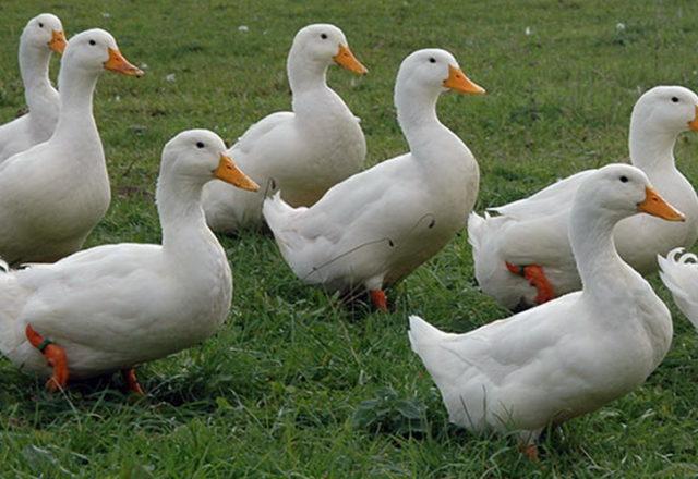 البط المحلية